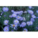 Aster.Marcinek niebiesko-fiolet