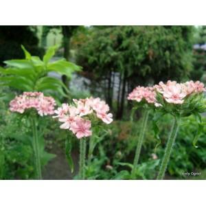 Firletka chalcedońska z gruntu różowa