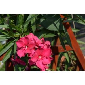 Oleander czerwone kwiaty