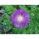 chaber liliowy