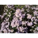 Aster jesienny-liliowy